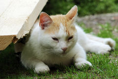 Red and white homeless cat sleeping lightly on the grass in the shade in summer. Street red and white homeless cat sleeping lightly on the grass in the shade in Royalty Free Stock Image