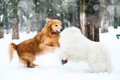 Red and white husky Royalty Free Stock Images