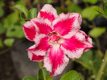 Red White Impala Lily Blooming Royalty Free Stock Images