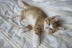 Red with white kitten on a beige blanket Stock Image
