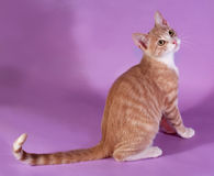 Red and white kitten sitting on purple Royalty Free Stock Images