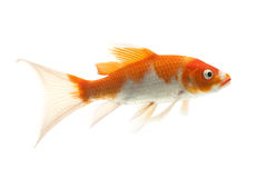 Red and White Koi Fish. Isolated on white background Stock Images