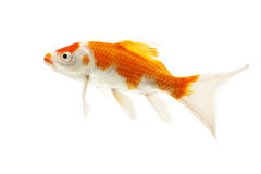 Red and White Koi Fish. Isolated on white background Royalty Free Stock Photo