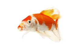Red and White Koi Fish. Isolated on white background Stock Photo
