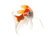 Red and White Koi Fish. Isolated on white background Stock Image