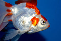 Red and white large ryukin goldfish Royalty Free Stock Photo