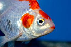 Red and white large ryukin goldfish. Close up of fancy orange and white goldfish in aquarium with blue background Royalty Free Stock Photography