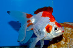 Red and white large ryukin goldfish Stock Image