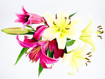The red and white lilies Stock Image