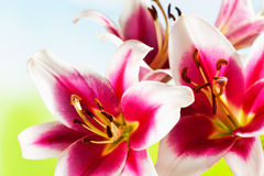 Red white lilies, stamen, close up Royalty Free Stock Image