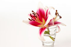 Red white lilies in vase, white background Royalty Free Stock Photo