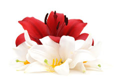 Red and white lily Royalty Free Stock Photography