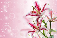 Red and white lily Stock Photography