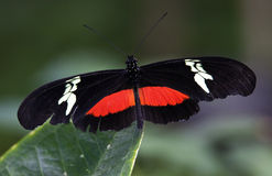 Red White Longwing Butterfly Close Up Royalty Free Stock Photo