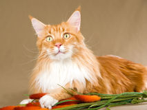 Red with white Maine Coon on khaki background Royalty Free Stock Photography