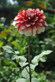 Red White Mix Dahlia stock images
