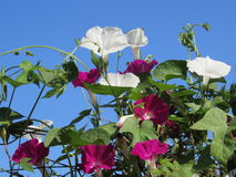 Red and White Morning Glories Against Blue Sky Stock Images