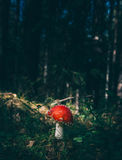 Red and White Mushroom Beside Green Grass Stock Images