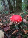 Poisonous mushroom in automn, french forest royalty free stock photos