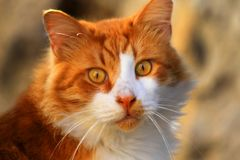 Cat ginger white mustache eye view of the ear and yellow eyes Stock Photography
