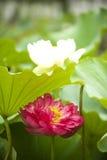 Red white nelumbo nucifera gaertn lotus Stock Image