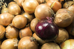 Red and white onion. Red onion on a background of white onions Stock Photos