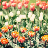Red, white and orange tulips Stock Images