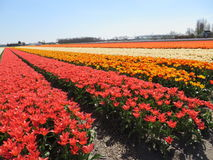 Red-White and orange tulips in Holland Royalty Free Stock Photos