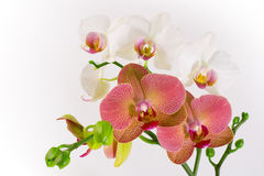 Red & White Orchid. Phalaenopsis red and white orchids isolated on white Stock Images