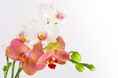 Red & White Orchid. Phalaenopsis red and white orchids isolated on white Royalty Free Stock Photos