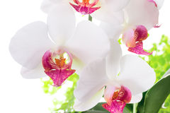 Red and white orchid with leaves fern stock image