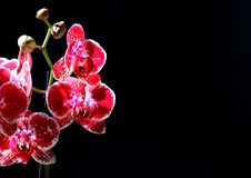 Red and white orchid. Of the phalaenopsis genus, also know as moth orchid, before a black background Royalty Free Stock Photography