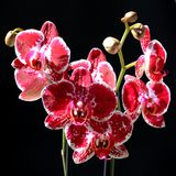 Red and white orchid. Of the phalaenopsis genus, also know as moth orchid, before a black background Stock Photography