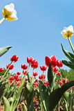 Red and white ornamental tulips on flowerbed Stock Photography