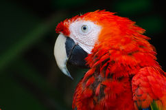 Red and White Parrot Royalty Free Stock Photography