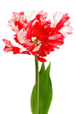 Red and white parrot tulip Royalty Free Stock Photography