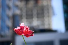 Red and white parrot tulip in an urban setting stock photo