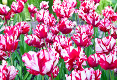 Red and white Parrot tulips Royalty Free Stock Photography