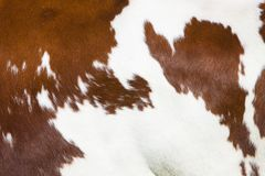 Red and white part of hide on side of spotted cow. Red and white part of hide on side of spotted dutch holstein cow royalty free stock photo