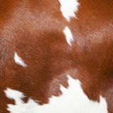 Red and white part of hide on side of spotted cow. Red and white part of hide on side of spotted dutch holstein cow stock images