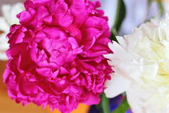 Red and white peonies Royalty Free Stock Image