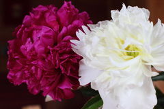 Red and white peonies Royalty Free Stock Photography