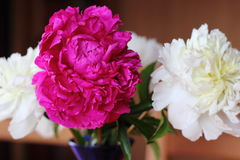 Red and white peonies Royalty Free Stock Images