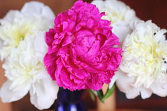 Red and white peonies Stock Photos