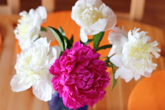 Red and white peonies Stock Images