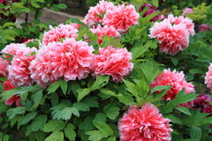 Red-and-white peony flowers in jingshan Park Royalty Free Stock Photos