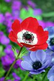 Red and White Petaled Flower Beside Purple Petaleed Flower Royalty Free Stock Images