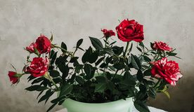 Red and white petals. Domestic mini roses stock photography