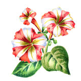 Red-white Petunia flower. Watercolor Royalty Free Stock Photo