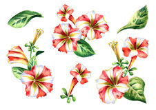 Red and white Petunia flowers compositions set. Watercolor illustration. Red and white Petunia flowers compositions set. Watercolor hand-drawn  illustration Stock Photography
